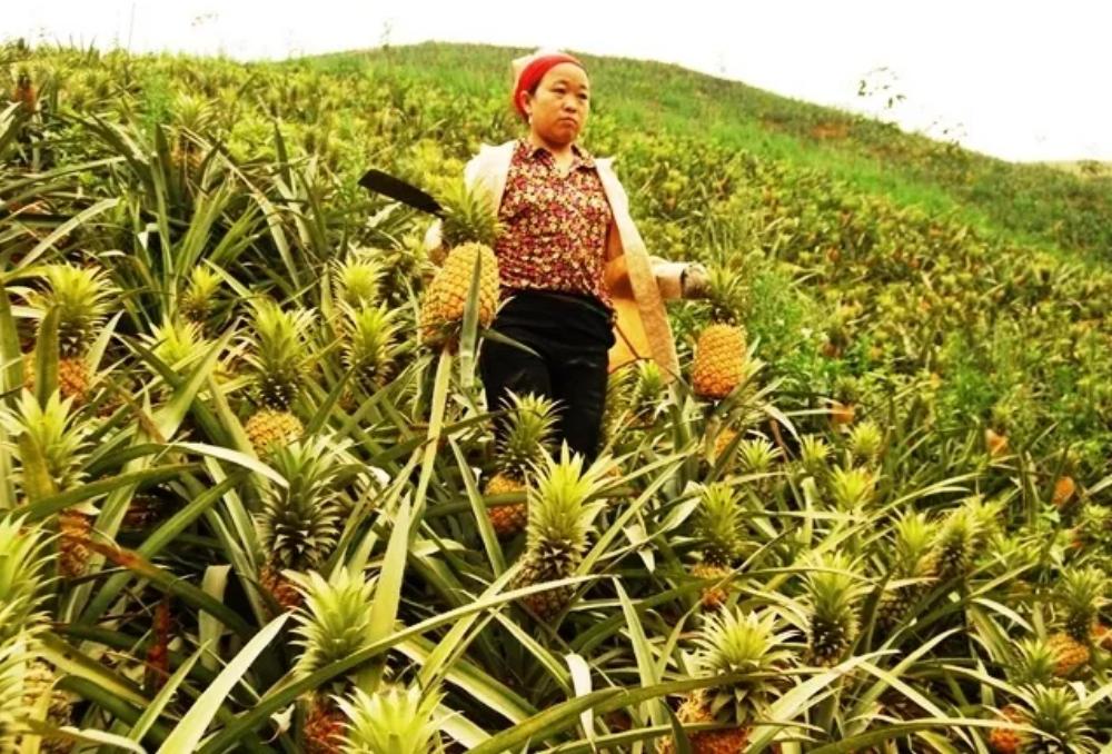 Dứa an toàn xuất khẩu ở Mường Khương (Lào Cai)