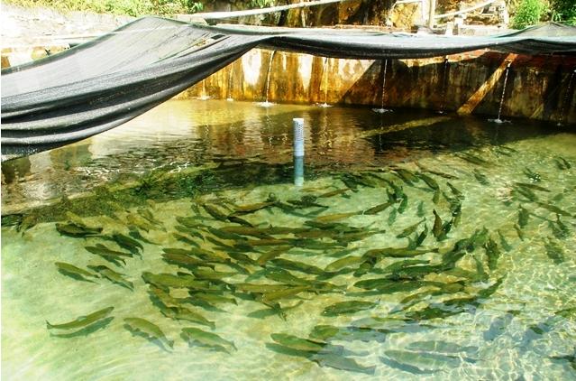Cá hồi Sa Pa