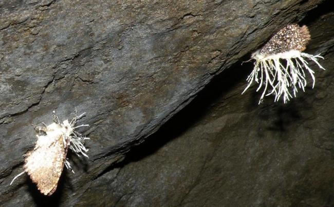 Phát hiện cơ quan sinh dục nam ở bọ cái và cơ quan sinh dục nữ ở bọ đực sống trong hang động - Kazunori Yoshizawa, Rodrigo Ferreira, Yoshitaka Kamimura, vàCharles Lienhard
