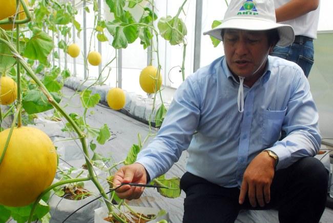 Giới thiệu hệ thống tưới nước nhỏ giọt cho cho cây dưa lưới được trồng trong nhà màng. (Ảnh: Mạnh Linh/TTXVN)
