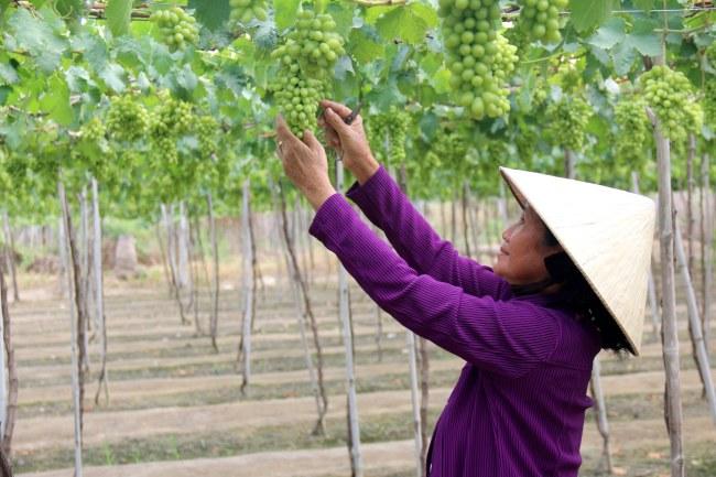 Mô hình trồng nho sạch tại huyện Tuy Phong, tỉnh Bình Thuận: (Ảnh: Nguyễn Thanh/TTXVN)