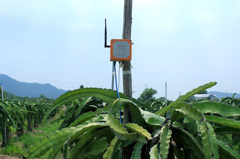 Giải pháp MimosaTEK ứng dụng ở vườn thành long tỉnh Bình Thuận. Ảnh: Lan Anh