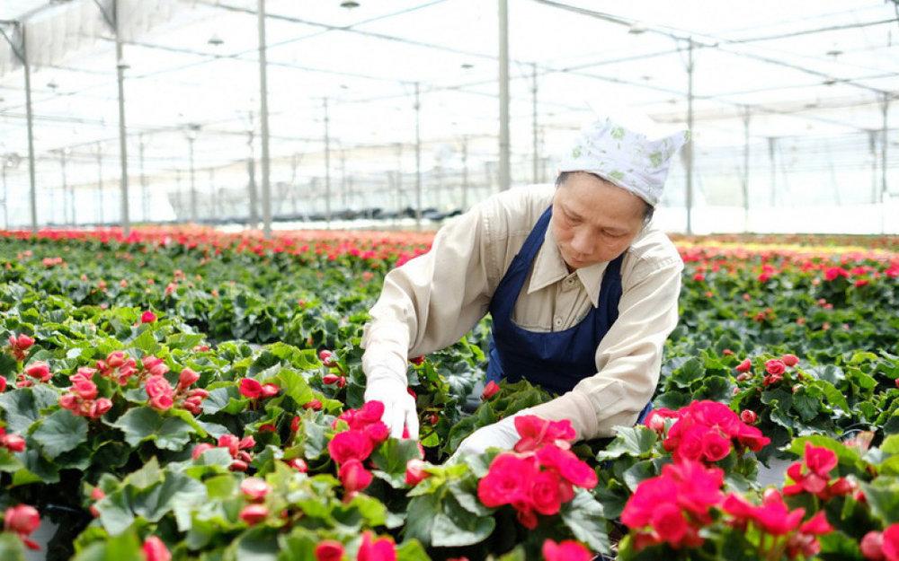 Trồng hoa trong nhà kính có điều hòa nhiệt độ của một dự án nông nghiệp quy mô tại Đà Lạt - Ảnh: MAI VINH