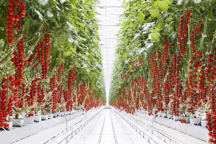 - Nuôi trồng trong nhà kính có thể cho năng suất cao gấp 50 lần so với nuôi trồng trong môi trường truyền thống ngoài trời.