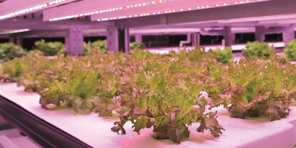 - Hệ thống đèn LED được sử dụng lên tới 17.500 chiếc, cho xuất xưởng trên 10.000 cây xà lách mỗi ngày.