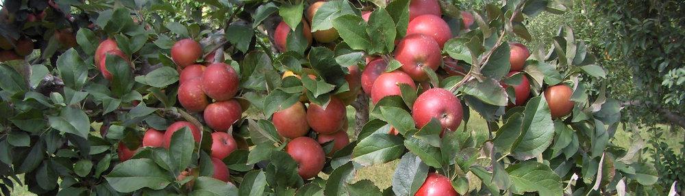 Trang trại táo ở California, Mỹ -