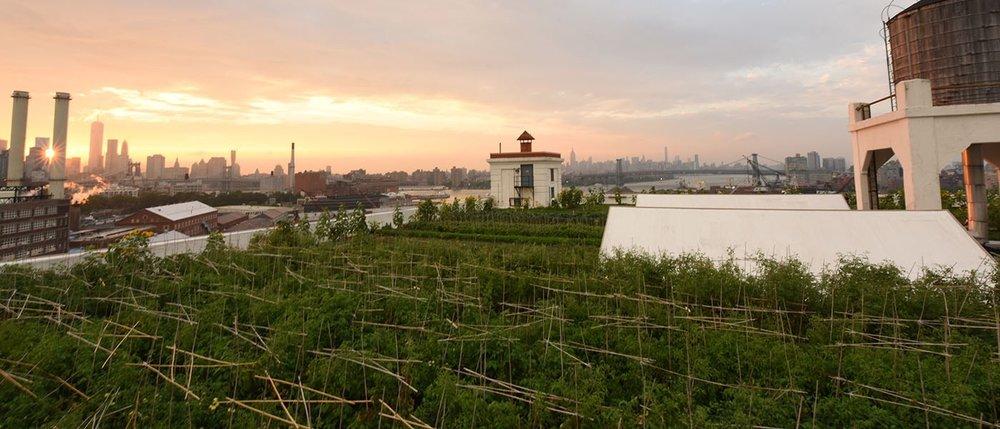 Trang trại sân thượng Brooklyn Grange (New York, Mỹ) -