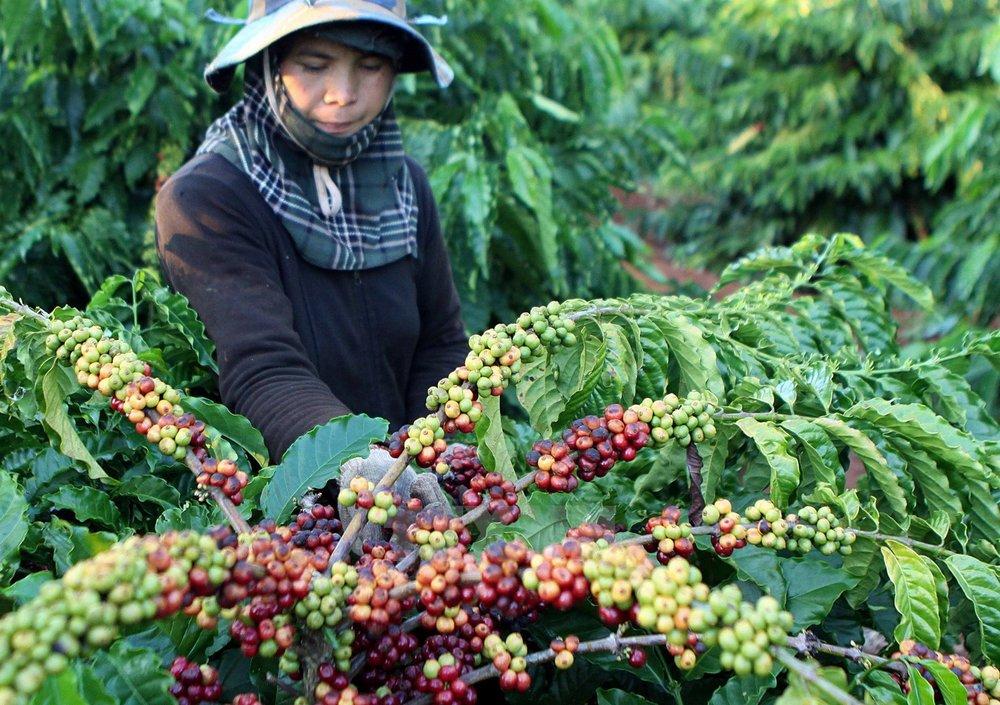 - NutiFood cũng mới đầu tư hơn 1.000 tỷ đồng trong năm 2017 để phát triển cà phê tại Đắc lắc.