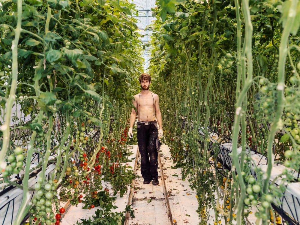 - Có nhiều nông trại rộng tới 175 hecta, những nông trại nhà kính này có khả năng kiểm soát môi trường bên trong, cho phép Hà Lan trở thành nhà dẫn đầu toàn cầu về xuất khẩu cà chua, một loại rau cực kỳ kén thời tiết.