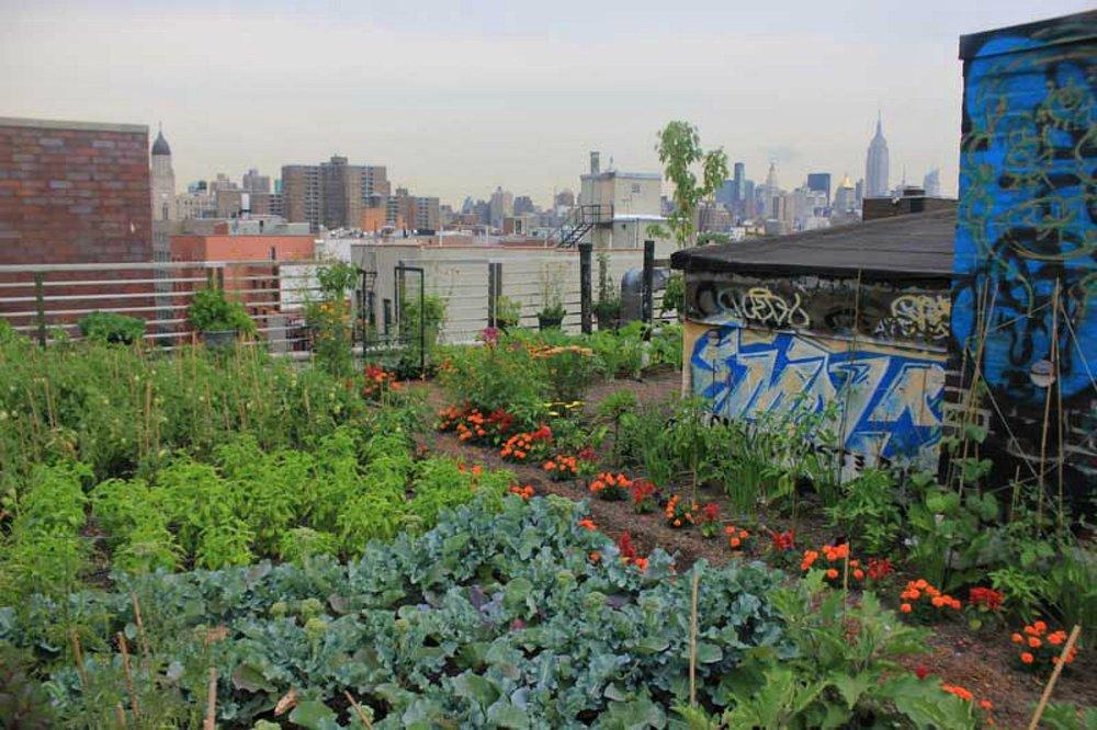 """- Họ thử nghiệm xây dựng một """"nông trại trên mái nhà"""" tại Manhattan. Nhóm đã tính toán và kết luận rằng nếu chỉ trồng cây trên mái nhà thì phương pháp này chỉ có thể nuôi sống 2% dân số của thành phố."""