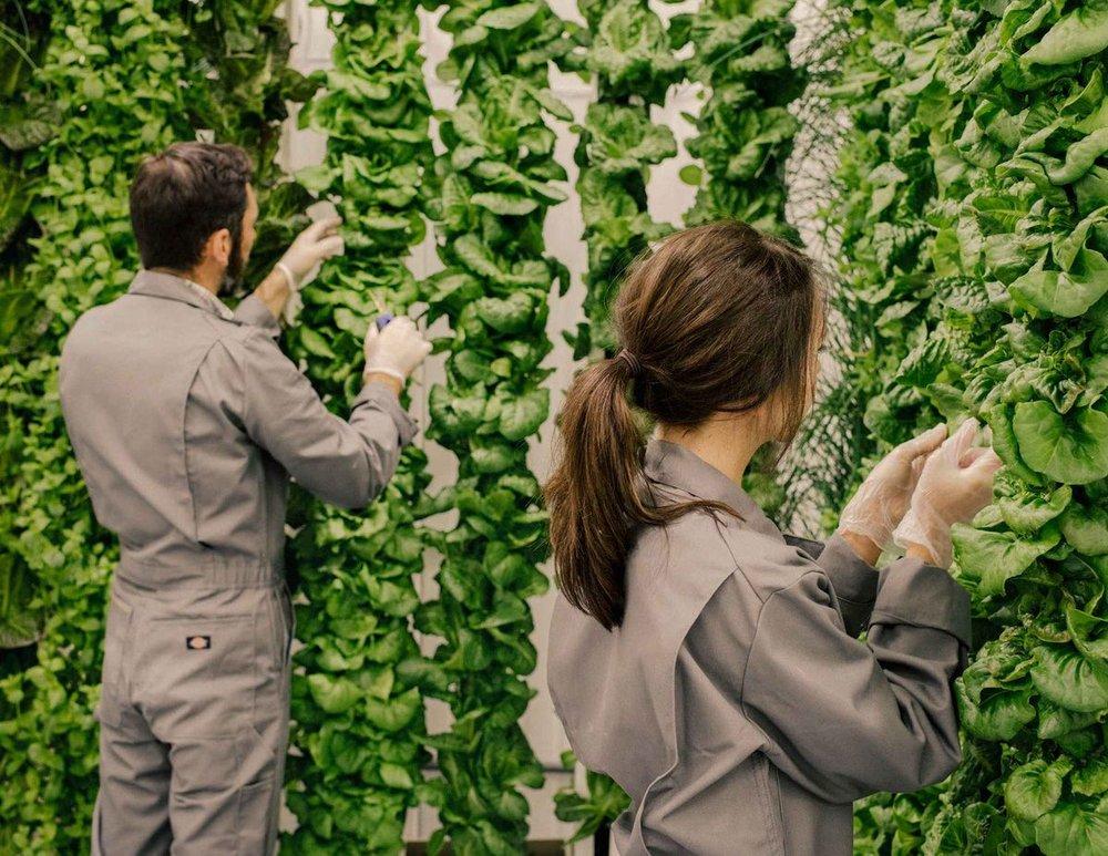 - Cũng giống như AeroFarm, Plenty United sử dụng kĩ thuật trồng rau trong nhà theo chiều dọc, không cần sử dụng ánh sáng tự nhiên và thuốc trừ sâu bởi các yếu tố đầu vào đều được kiểm soát bằng máy móc.