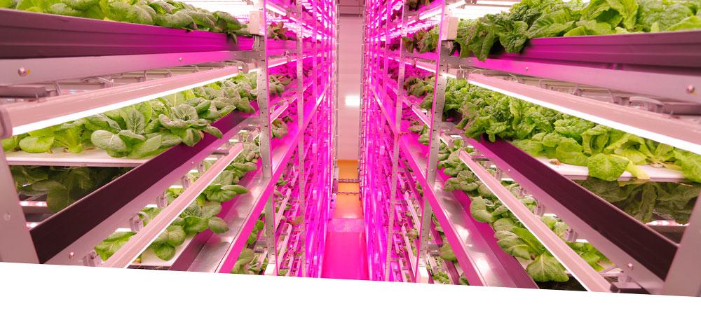 - Tại đây, người ta lắp đặt hệ thống đèn LED, tưới tiêu bằng dung dịch có hòa dưỡng chất giúp đảm bảo quá trình quang hợp và cung cấp dinh dưỡng cho cây trong điều kiện không cần đất, không sử dụng thuốc trừ sâu hay thuốc kích thích tăng trưởng.