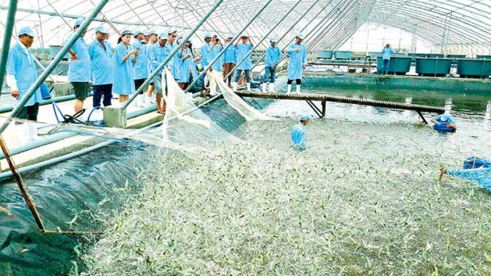 Thu hoạch tôm nuôi theo mô hình siêu thâm canh trong nhà kính của Tập đoàn Việt - Úc  . Ảnh: Trần Thanh Phong