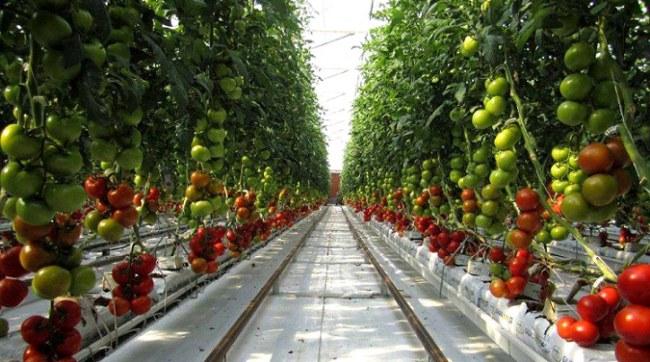 Hiện nay, Sundrop Farms đang có 750.000 cây cà chua đang thu hoạch.