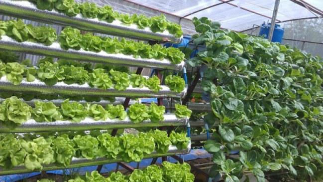 Mô hình trồng rau thủy canh có thể áp dụng hiệu quả ở quy mô trang trại