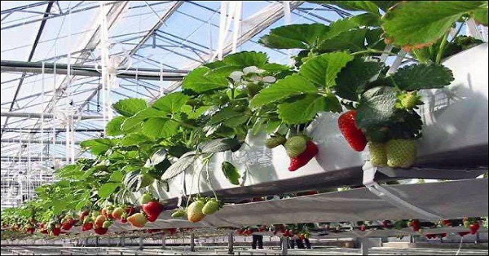 Công nghệ nhà kính đang là giải pháp được sử dụng rộng rãi trong sản xuất nông sản sạch
