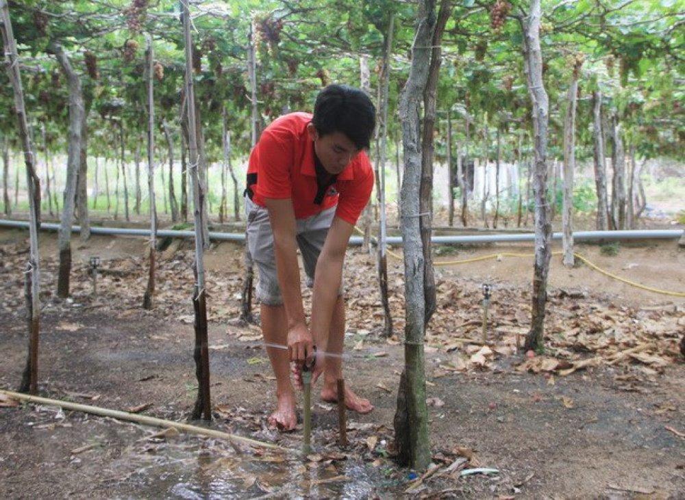 Nông dân xã Vĩnh Hải, huyện Ninh Hải áp dụng hiệu quả mô hình tưới nước tiết kiệm cho vườn nho trong mùa khô hạn 2018. (Ảnh: Nguyễn Thành/TTXVN)