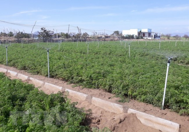 Hệ thống tưới tiết kiệm phun mưa cho hoa màu trên vùng đất cát ở xã An Hải, huyện Ninh Phước, tỉnh Ninh Thuận. (Ảnh: Nguyễn Thành/TTXVN)