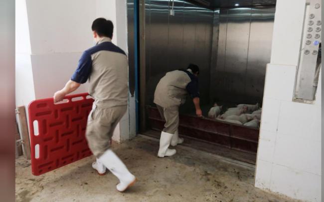 Những chú lợn con được kiểm soát từ khi mới sinh và không rời khỏi tòa nhà cho đến khi lớn nên có thể kiểm soát được dịch bệnh