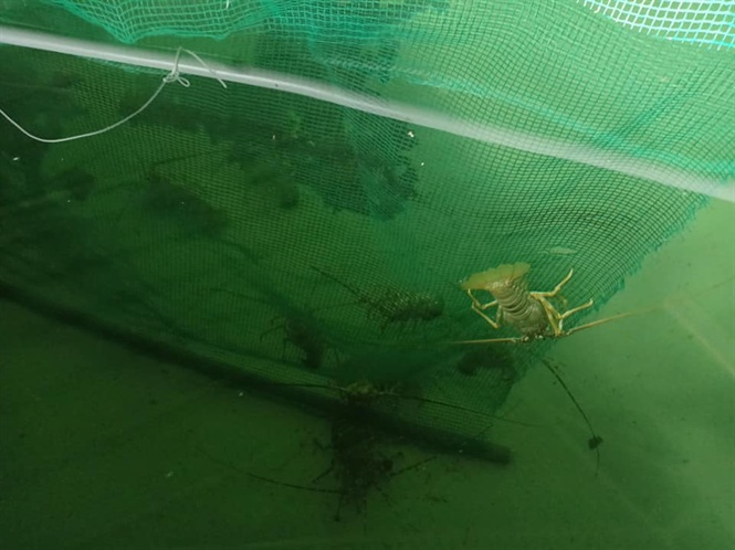Trong bể đặt các tấm lưới, nhằm cho tôm bám nghỉ ngơi và trú ẩn sau bữa ăn