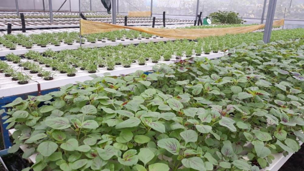 Gần 2000 m2 tại HXT Xuân Lộc luôn được phủ xanh với 9 loại rau luân canh thường xuyên