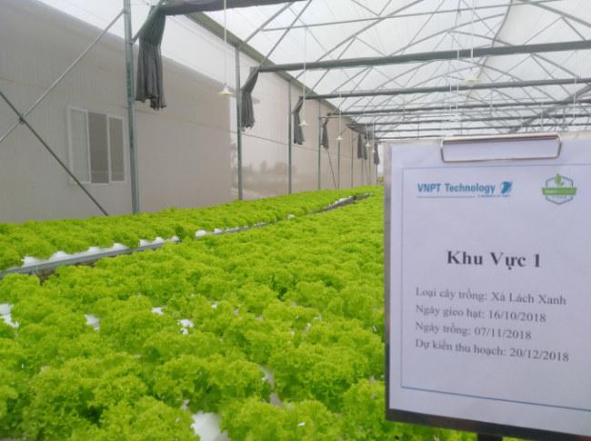 Khu vực trồng xà lách xanh bằng phương pháp thủy canh