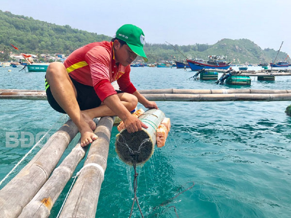 Anh Nguyễn Xuân Hiển kiểm tra các lồng mực.