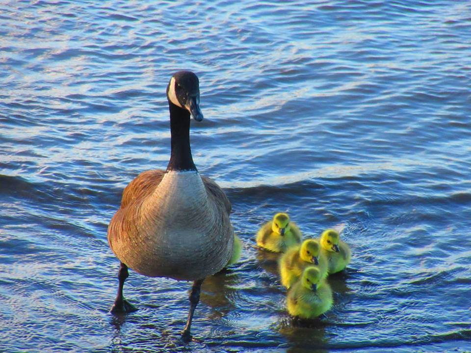 Goose and family
