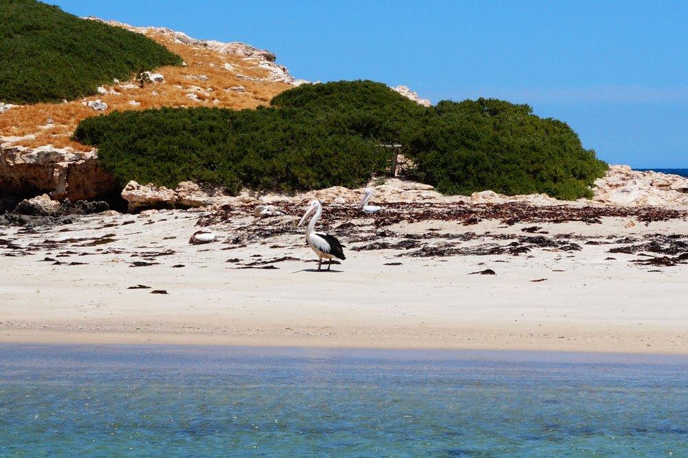 Penguin-island-2017 13.JPG