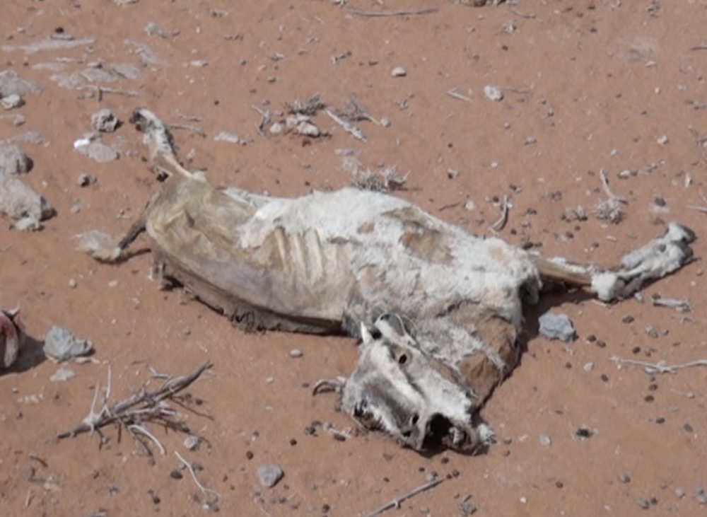 Une chèvre qui a succombé à la chaleur et à la sécheresse