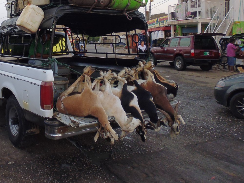 Goats being transported to market in La Guajira, Colombia