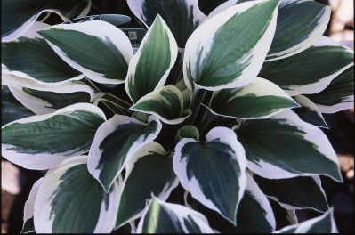 hosta full shade
