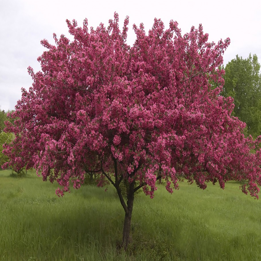 Red Splendor Flowering Crab - Click on image to view all ornamental trees.
