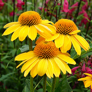 Lemon Yellow Echinacea - Click on image to view all full sun perennials.