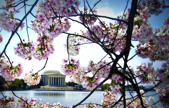jefferson-and-blossoms-640x480.jpg