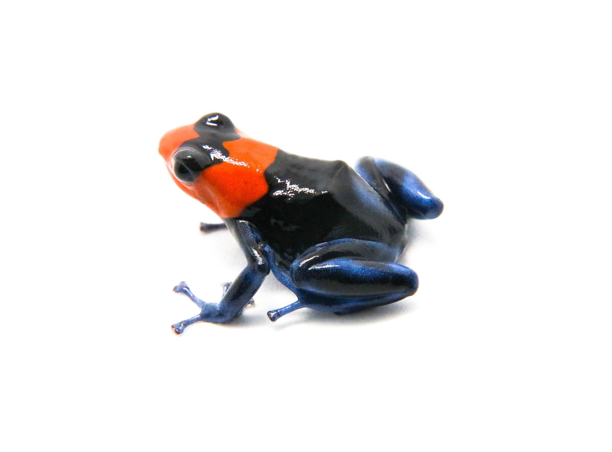 "Image result for ""Egg eating"" Dart Frogs"