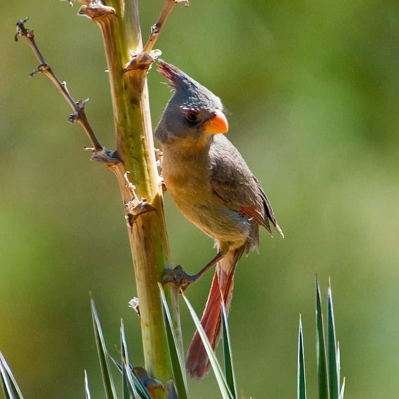 Birds - Pyrrhuloxia
