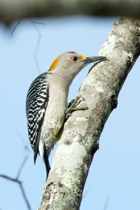 20121201__Golden-fronted Woodpecker_1.jpg