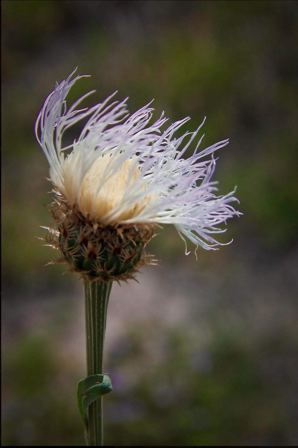 AW Thistle in the Wind.png