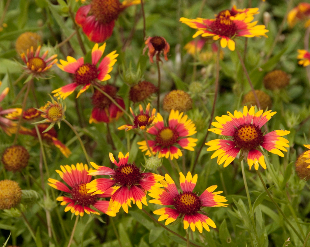 AW Field of Indian Blankets or Firewheels.png