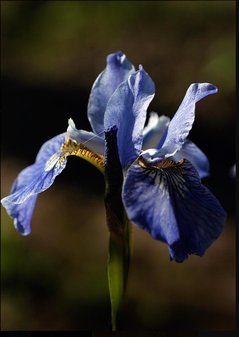 AW Blue Iris - open.png