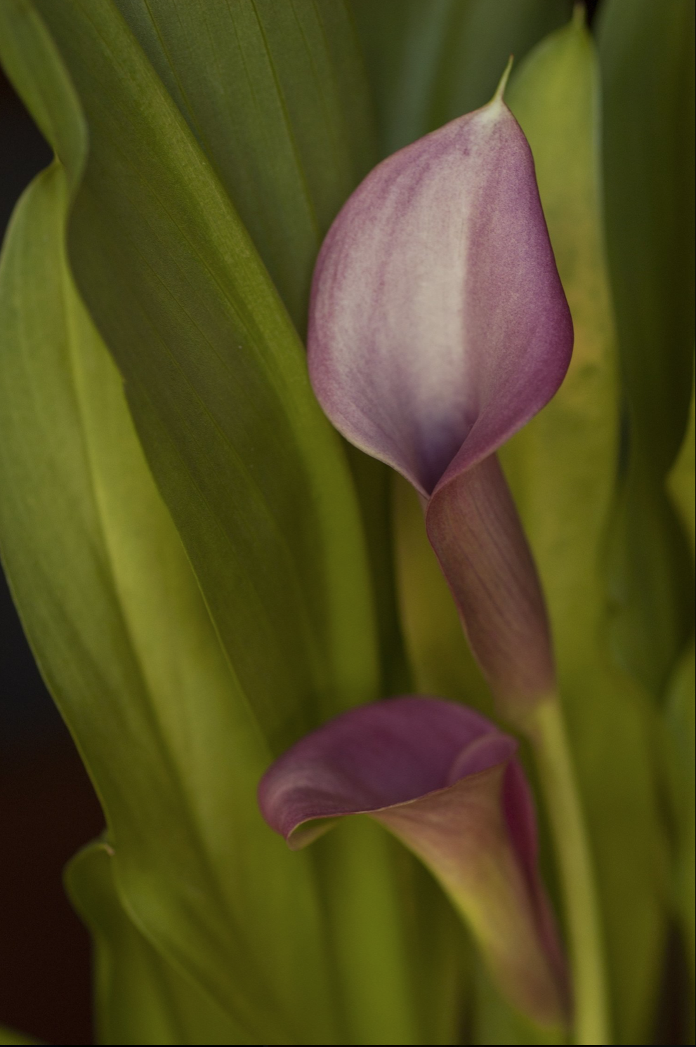 AW Purple Calla Lily.png