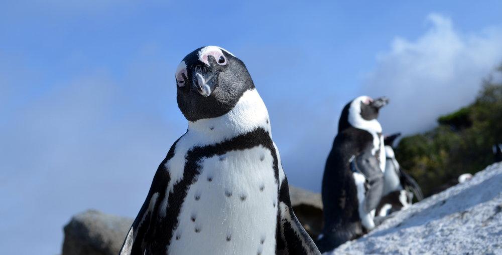 African Footprint Safaris Penguin