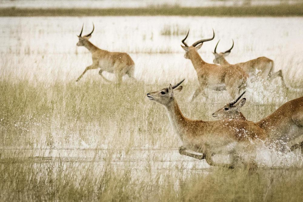 African Footprint Safaris Red Lechwe
