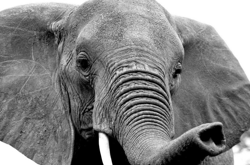 African Footprint Safaris Elephant 2.