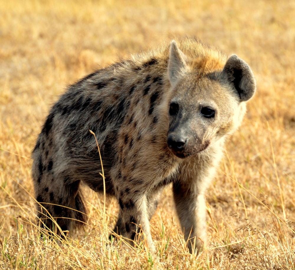 African Footprint Safaris Hyaena