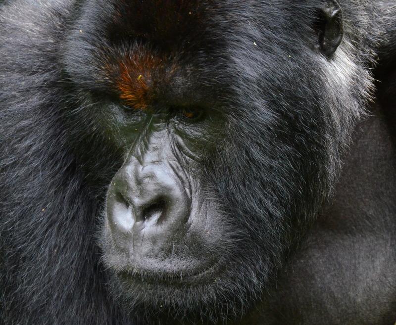 African Footprint Safaris Gorilla