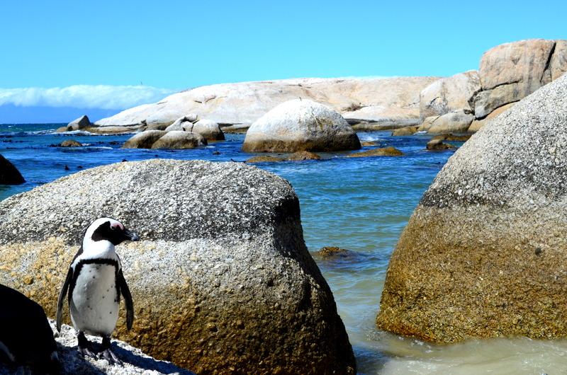 African Footprint Safaris - Penguin.JPG