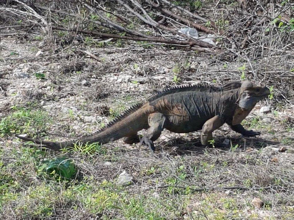 El camino esta lleno de iguanas que te acompañan en el largo recorrido.