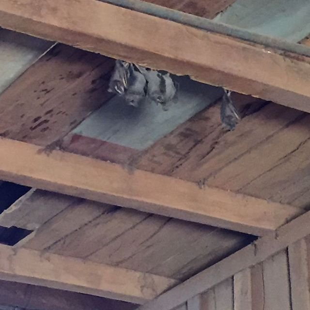 Bats and snakes are common when dismantling barns in the countryside, but check out those peroba rosa beams!